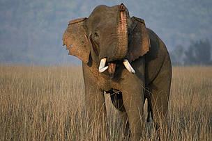Asian-Elephant